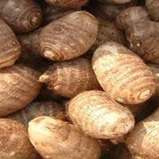 Colocasia Chembu