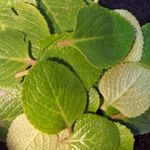 karpooravalli ajwain leaf