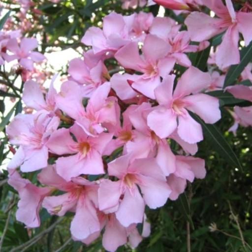 Arali Light Pink Flower