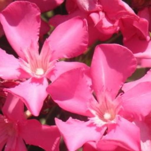 Arali Pink Flower