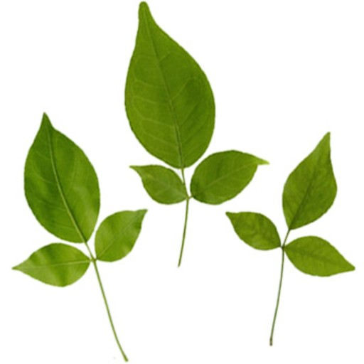 Bilva Leaves Koovalam Rs 20