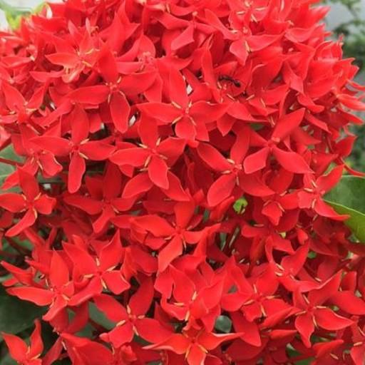 Chethi Flower