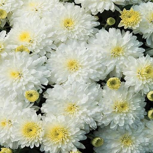 chrysanthemum white flower
