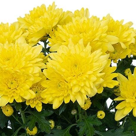 Chrysanthemum Yellow 25Rs